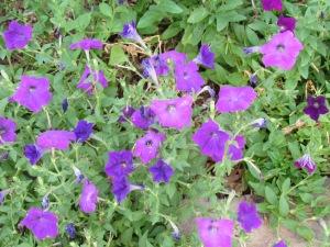 Old fashioned petunia
