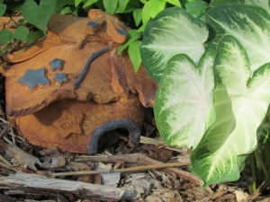 Caladium ann Toad House