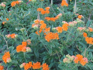 Asclepias tuberosa or Milkweed is a drought tolerant native plant.  This is the only plant the monarch butterfly will lay her eggs on.  Bright orange flowers bring in many pollinators.  http://theblondegardener.com/2015/02/20/plants-to-consider-for-your-garden/
