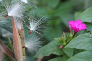 Asclepias seed