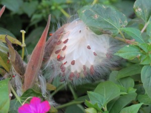 Asclepias tuberosa seed pod.  http://theblondegardener.com/2015/02/20/plants-to-consider-for-your-garden/