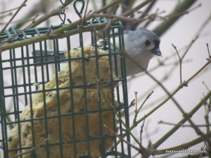 tufted titmouse 1/1/13