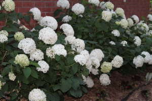 Hydrangea arborescens 'Annabelle' is a great additon to the shade garden http://theblondegardener.com/2015/02/20/plants-to-consider-for-your-garden/