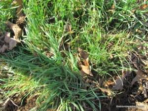 grass clump/spider lily