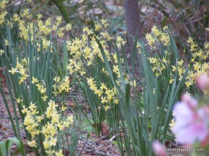 daffodils at monmouth