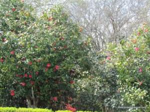 azaleas at monmouth