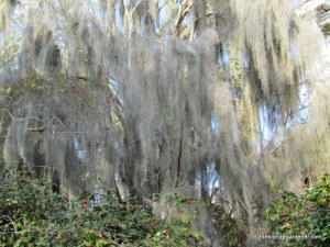 spanish moss at monmouth