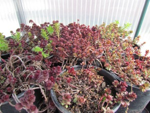 sedums rooting for the living roof  https://theblondegardener.com/2015/08/01/chicken-coop-with-living-roof/