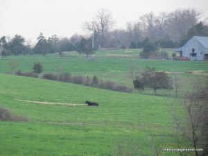 cow in green pastures