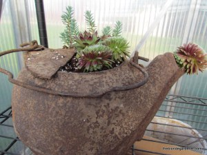 rusty pot, sedum