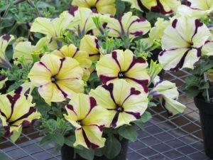 petunia, harmony hills nursery