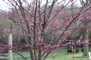 Redbud planted by a bird.