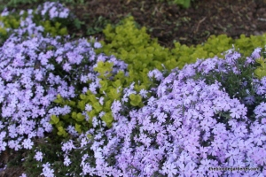 phlox and creeping jenny