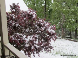 japanese maple 5/3/13
