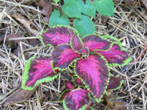 Coleus 'Chocoate Covered Cherry'