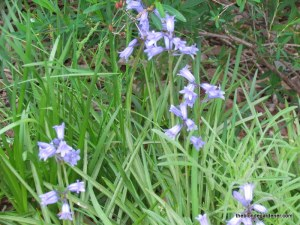 engish bluebells