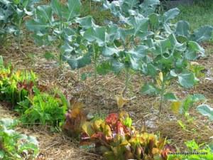 lettuce and broccoli