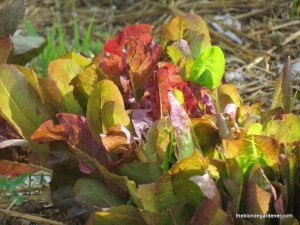 When planting the garden, lettuce is a cooler weather crop