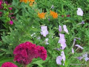 amish cockscomb, old fashioned petunias, asclepias tuberosa