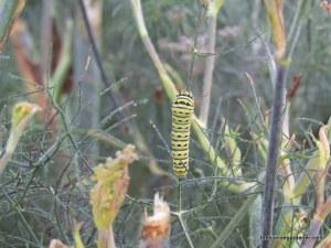 swallowtail, fennel