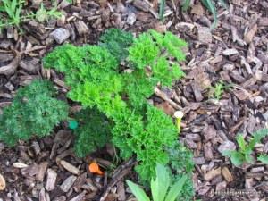 parsley golf tee