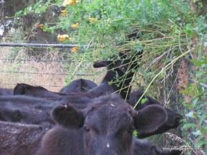 cows, pruners