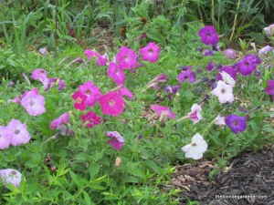 old fashioned petunia