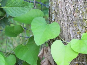 aristolochia heart shape leaves