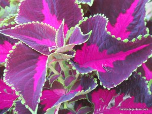 coleus-chocolate covered cherry