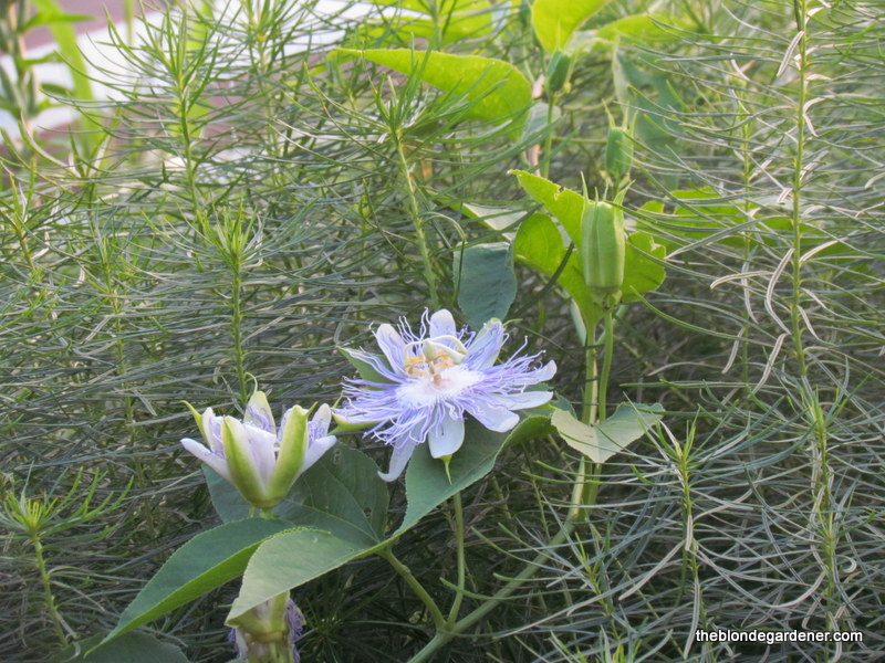 Passionflower (Passiflora incarnata) is a native vine that has a spiritual meaning and is also a host plant for the gulf fritillary butterfly. https://theblondegardener.com/2017/08/27/passionflower-its-not-what-you-think/