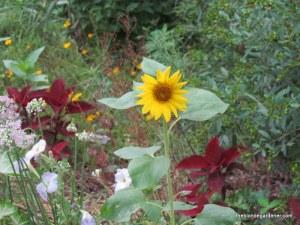 sunflower and coleus