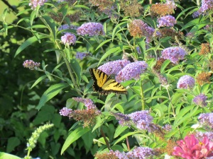 Wanting to attract butterflies to your garden?  Now is the time to planhttps://theblondegardener.com/2015/01/21/planning-a-garden/.