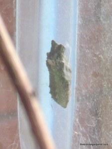 swallowtail chrysalis