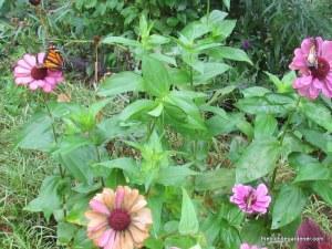 butterfly, monarch, zinnia