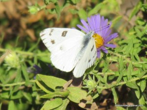 butterfly, aster