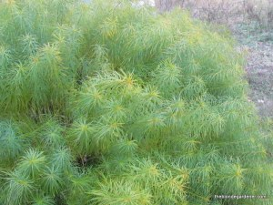 Amsonia hubrichtii ro Arkansas Blue Star foliage in early fall.  This is a great native plant for the garden.  https://theblondegardener.com/2015/02/20/plants-to-consider-for-your-garden/
