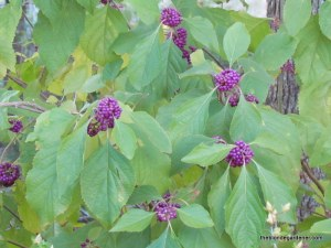 callicarpa, beautyberry