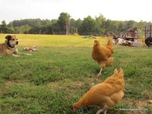 annie, chickens