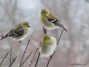 birds in snow jan '14