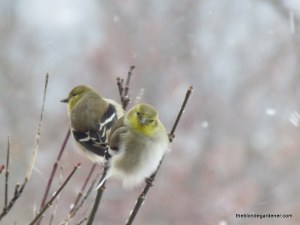 birds in snow jan '14