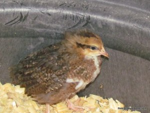 chicken, brown speckled sussex 4 wks. old