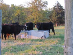 cows/ chicken tractor