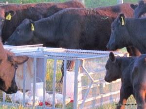 cows chicken tractor