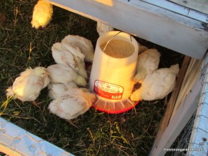 chickens 5 weeks old