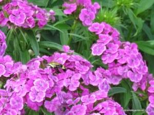 Dianthus barbatus / sweet william