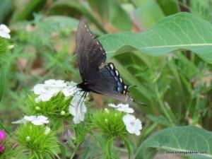 Dianthus barbatus / sweet william/ swallowtail
