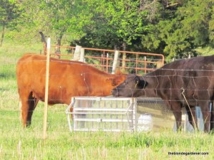 cow chicken tractor