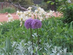allium and iris