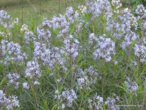 Amsonia hubrectii or Arkansas Blue Star is a great native plant for the sunny garden https://theblondegardener.com/2015/02/20/plants-to-consider-for-your-garden/