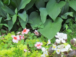 hosta impatiens begonia creeping jenny